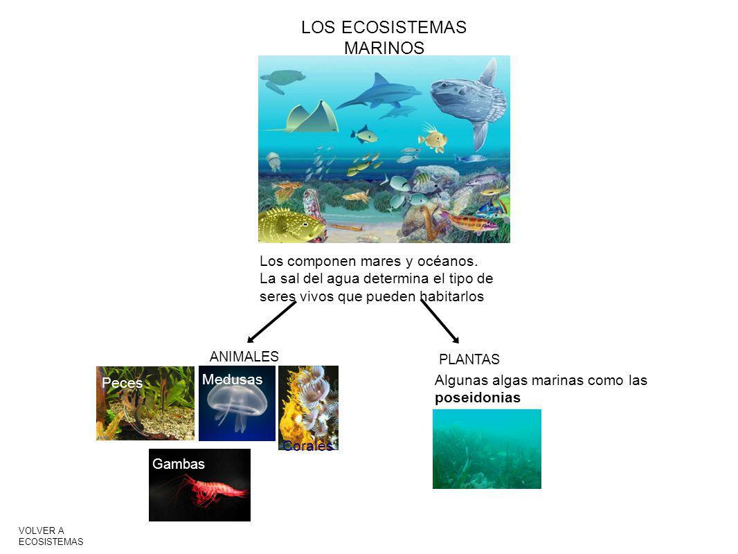 LOS ECOSISTEMAS MARINOS Los componen mares y océanos. La sal del agua determina el tipo de seres vivos que pueden habitarlos ANIMALES PLANTAS Peces Me