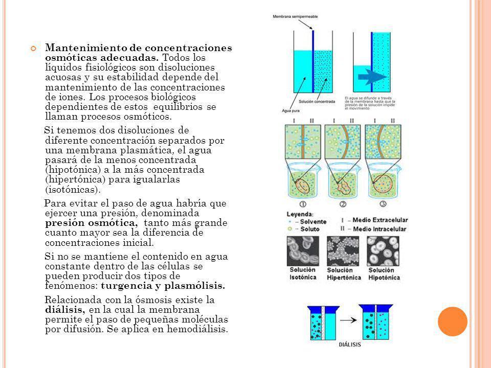 Mantenimiento de concentraciones osmóticas adecuadas. Todos los líquidos fisiológicos son disoluciones acuosas y su estabilidad depende del mantenimie