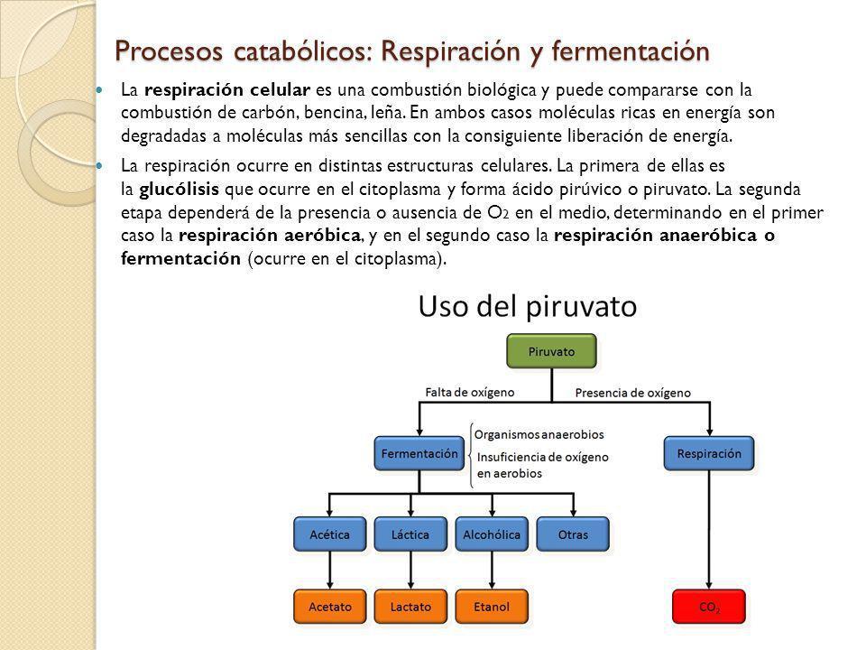 Procesos catabólicos: Respiración y fermentación La respiración celular es una combustión biológica y puede compararse con la combustión de carbón, be