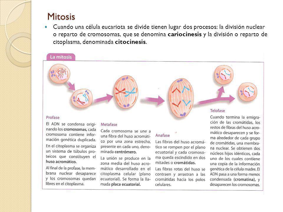 Mitosis Cuando una célula eucariota se divide tienen lugar dos procesos: la división nuclear o reparto de cromosomas, que se denomina cariocinesis y l