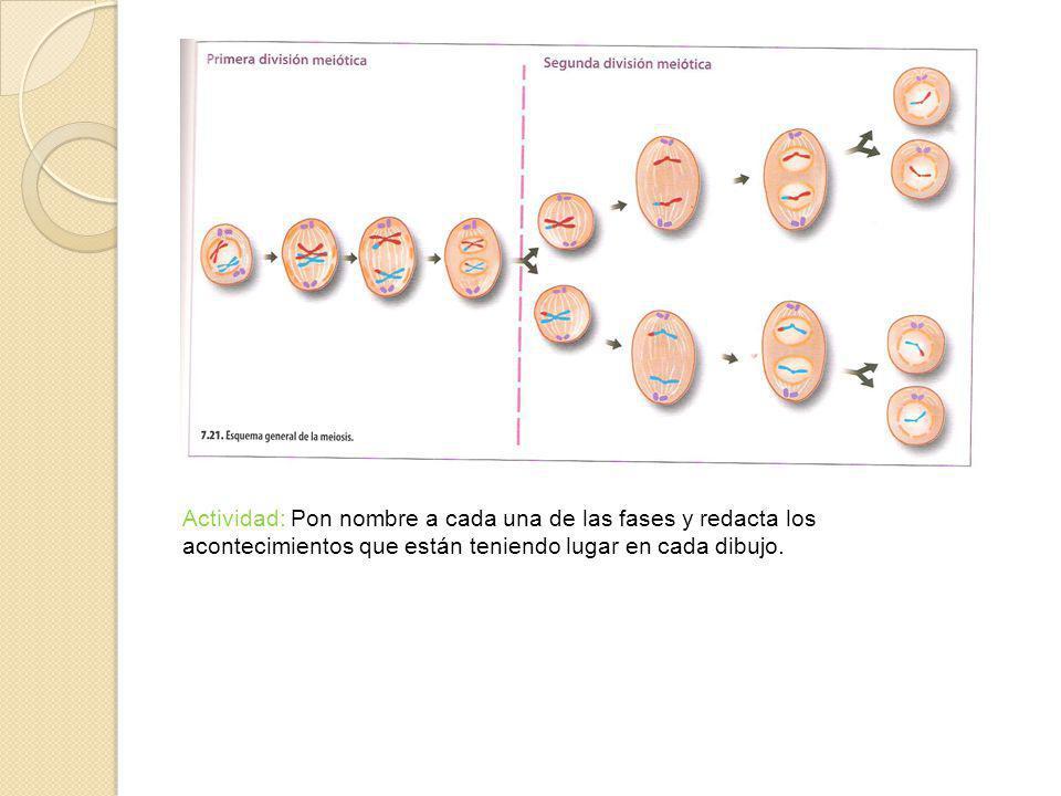 Actividad: Pon nombre a cada una de las fases y redacta los acontecimientos que están teniendo lugar en cada dibujo.