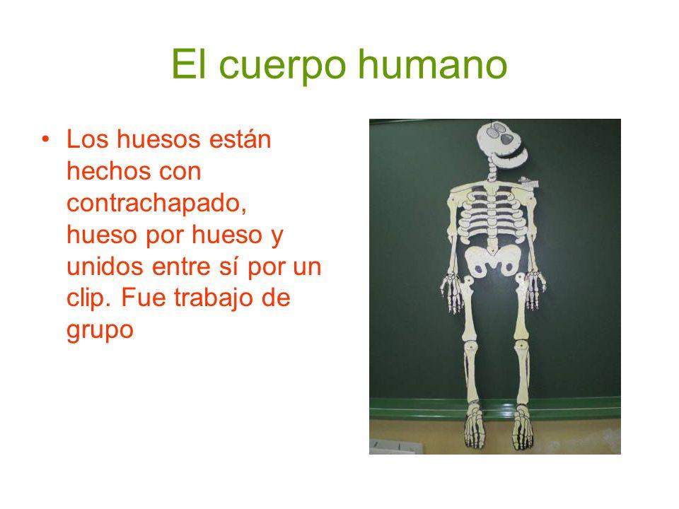 El cuerpo humano Los huesos están hechos con contrachapado, hueso por hueso y unidos entre sí por un clip. Fue trabajo de grupo