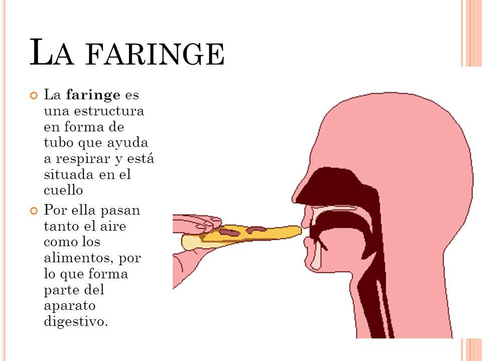La faringe es una estructura en forma de tubo que ayuda a respirar y está situada en el cuello Por ella pasan tanto el aire como los alimentos, por lo