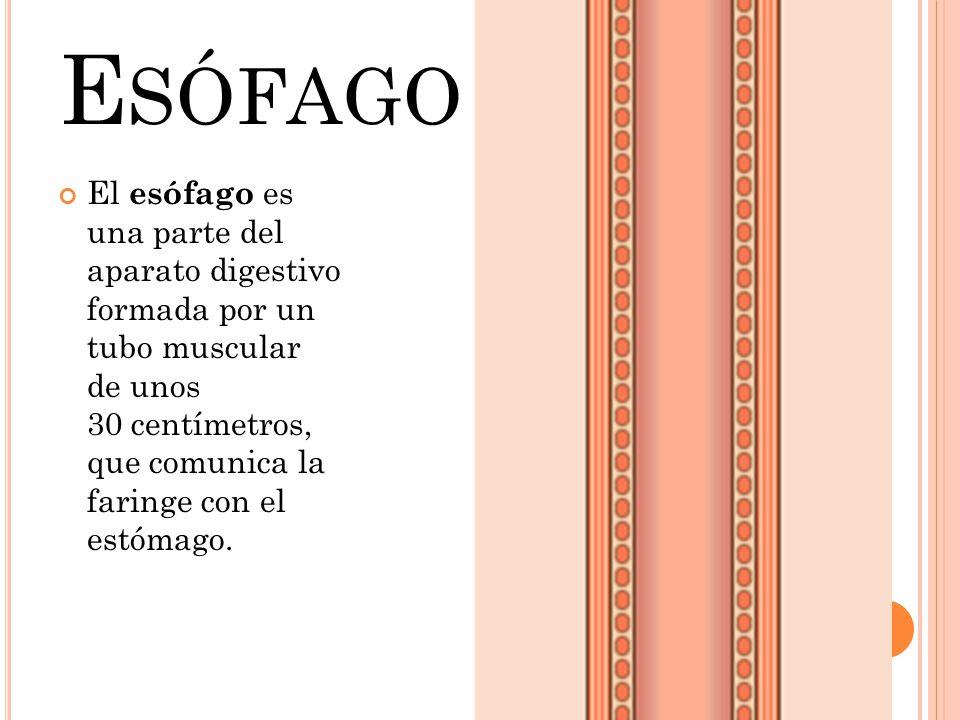 El esófago es una parte del aparato digestivo formada por un tubo muscular de unos 30 centímetros, que comunica la faringe con el estómago. E SÓFAGO