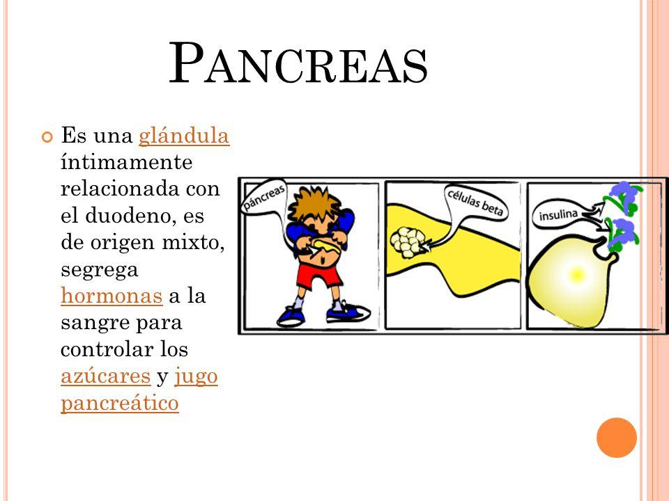 P ANCREAS Es una glándula íntimamente relacionada con el duodeno, es de origen mixto, segrega hormonas a la sangre para controlar los azúcares y jugo