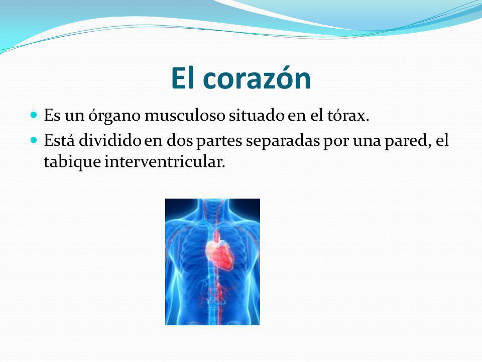 El corazón Es un órgano musculoso situado en el tórax. Está dividido en dos partes separadas por una pared, el tabique interventricular.