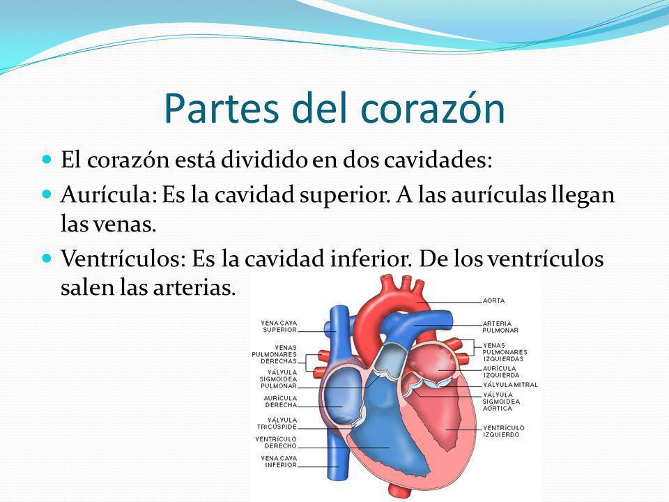 Partes del corazón El corazón está dividido en dos cavidades: Aurícula: Es la cavidad superior. A las aurículas llegan las venas. Ventrículos: Es la c