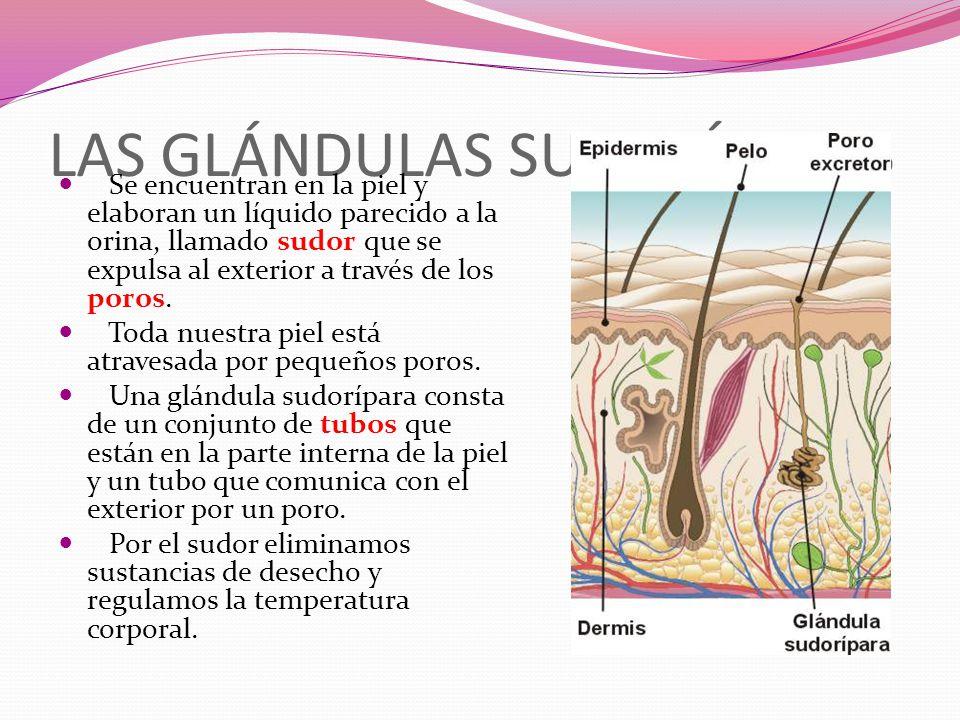 LAS GLÁNDULAS SUDORÍPARAS Se encuentran en la piel y elaboran un líquido parecido a la orina, llamado sudor que se expulsa al exterior a través de los