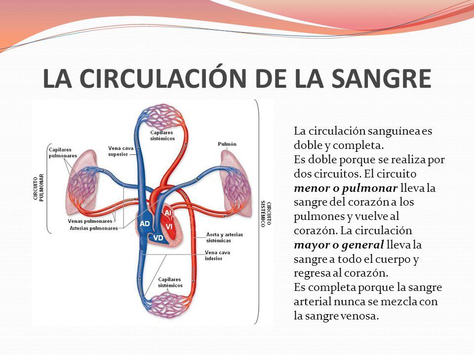 LA CIRCULACIÓN DE LA SANGRE La circulación sanguínea es doble y completa. Es doble porque se realiza por dos circuitos. El circuito menor o pulmonar l