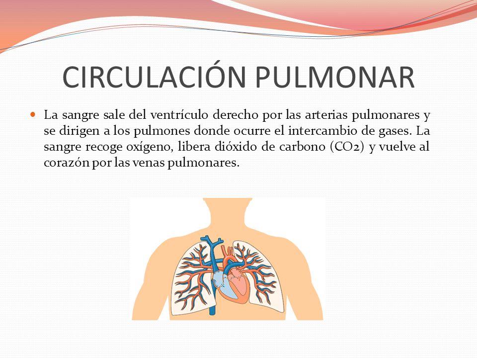 CIRCULACIÓN PULMONAR La sangre sale del ventrículo derecho por las arterias pulmonares y se dirigen a los pulmones donde ocurre el intercambio de gase