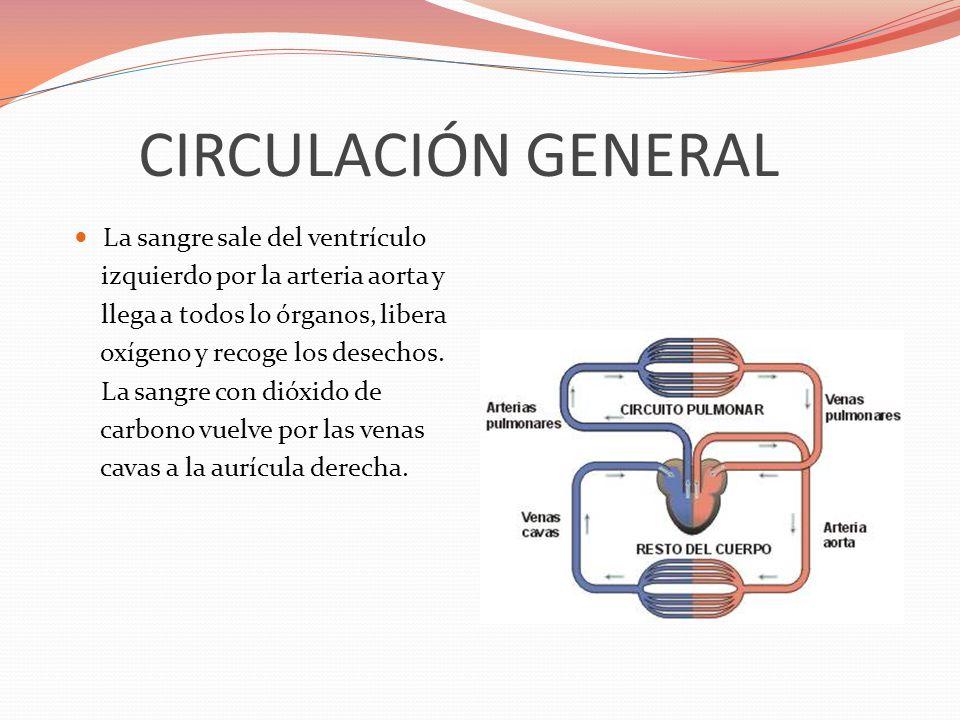CIRCULACIÓN GENERAL La sangre sale del ventrículo izquierdo por la arteria aorta y llega a todos lo órganos, libera oxígeno y recoge los desechos. La