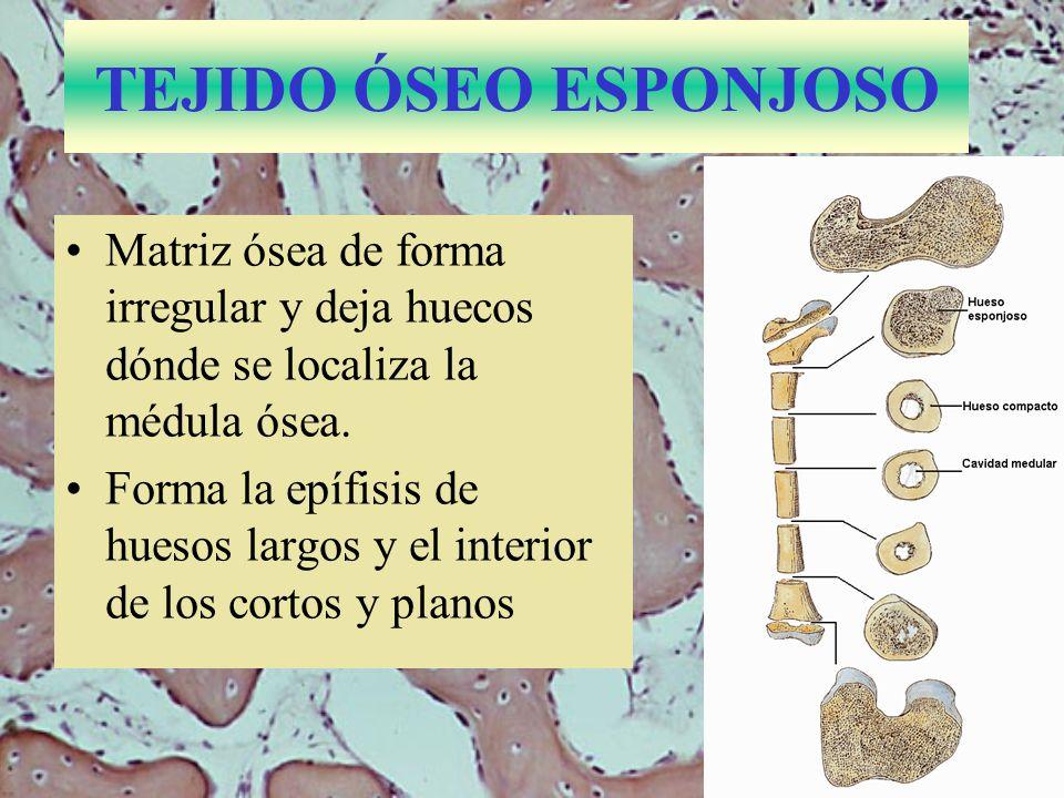 Médula espinal de ratón 9.4.4.- TEJIDO NERVIOSO Forma el cerebro, la médula espinal y los nervios.