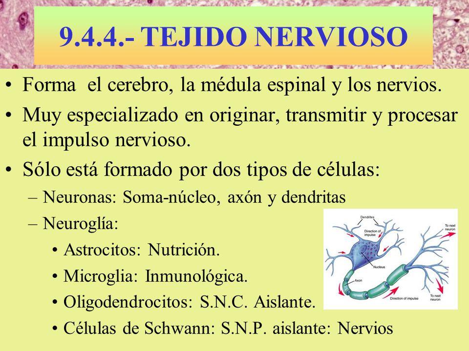 Médula espinal de ratón 9.4.4.- TEJIDO NERVIOSO Forma el cerebro, la médula espinal y los nervios. Muy especializado en originar, transmitir y procesa
