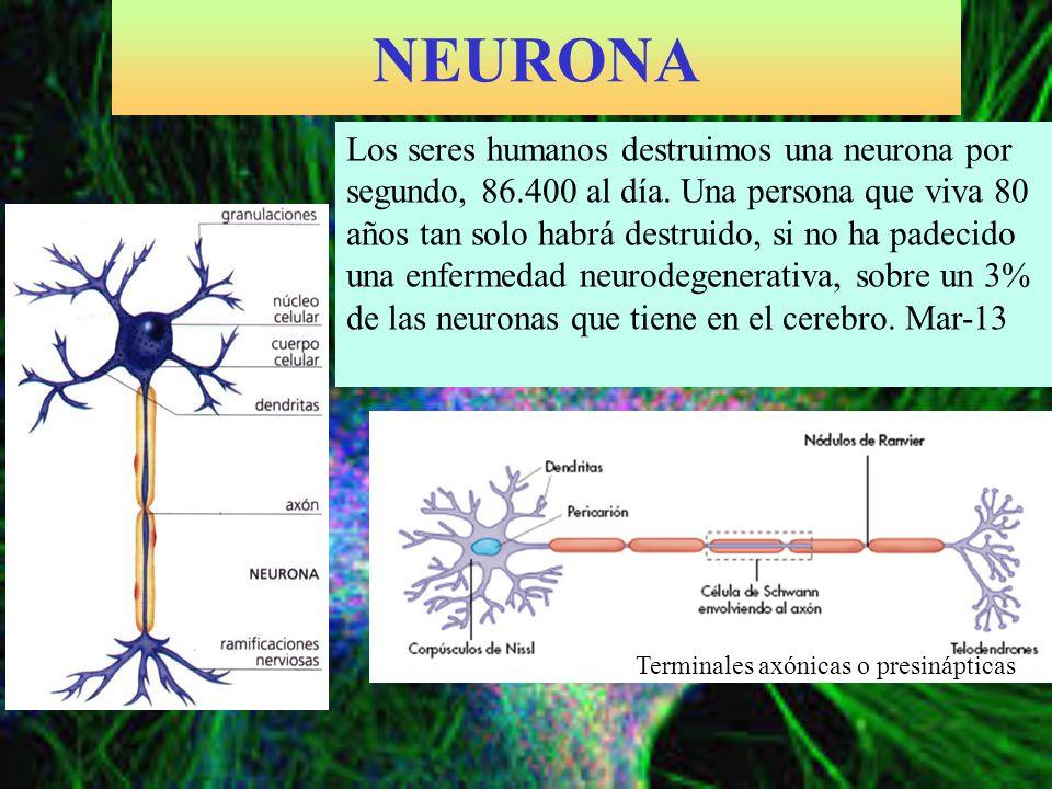 NEURONA Los seres humanos destruimos una neurona por segundo, 86.400 al día. Una persona que viva 80 años tan solo habrá destruido, si no ha padecido
