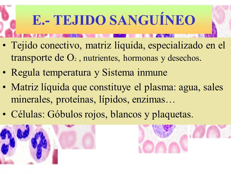 E.- TEJIDO SANGUÍNEO Tejido conectivo, matriz líquida, especializado en el transporte de O 2, nutrientes, hormonas y desechos. Regula temperatura y Si