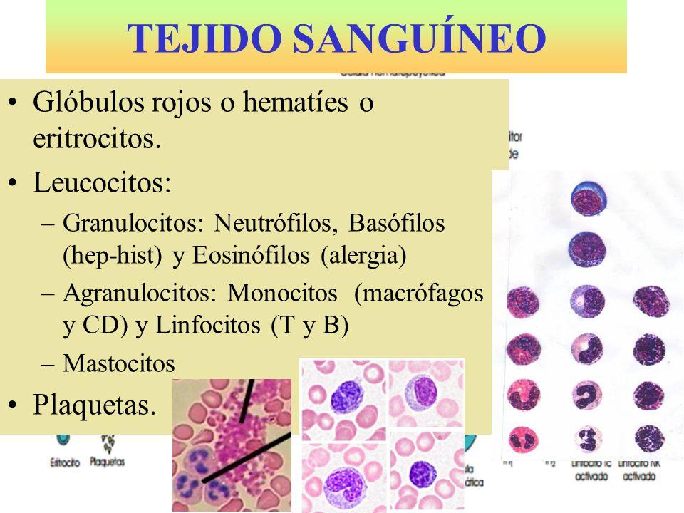 MASTOCITO Cargado de histamina que atraen a otros leucocitos a la infección.