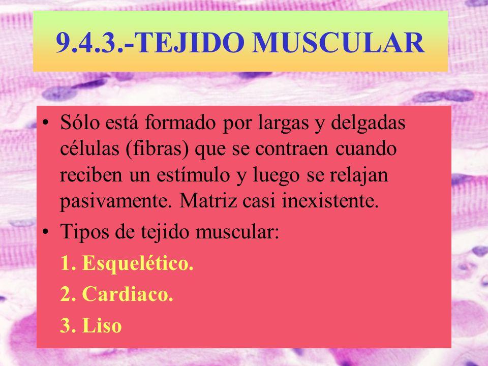 9.4.3.-TEJIDO MUSCULAR Sólo está formado por largas y delgadas células (fibras) que se contraen cuando reciben un estímulo y luego se relajan pasivame