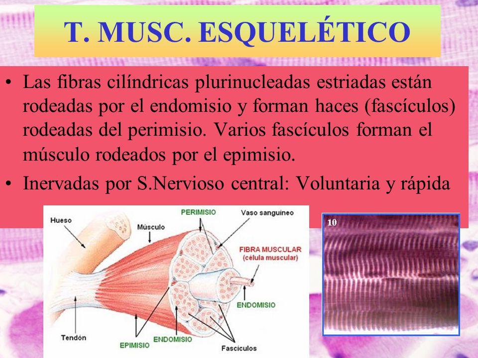 T. MUSC. ESQUELÉTICO Las fibras cilíndricas plurinucleadas estriadas están rodeadas por el endomisio y forman haces (fascículos) rodeadas del perimisi