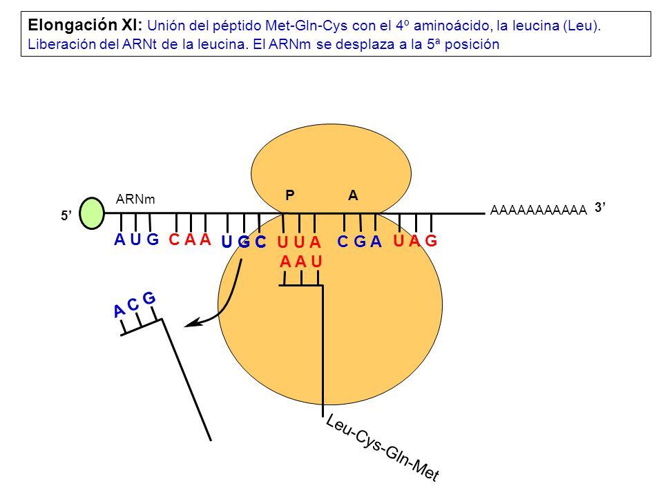 AAAAAAAAAAA P A A U G C A A Elongación XI: Unión del péptido Met-Gln-Cys con el 4º aminoácido, la leucina (Leu).