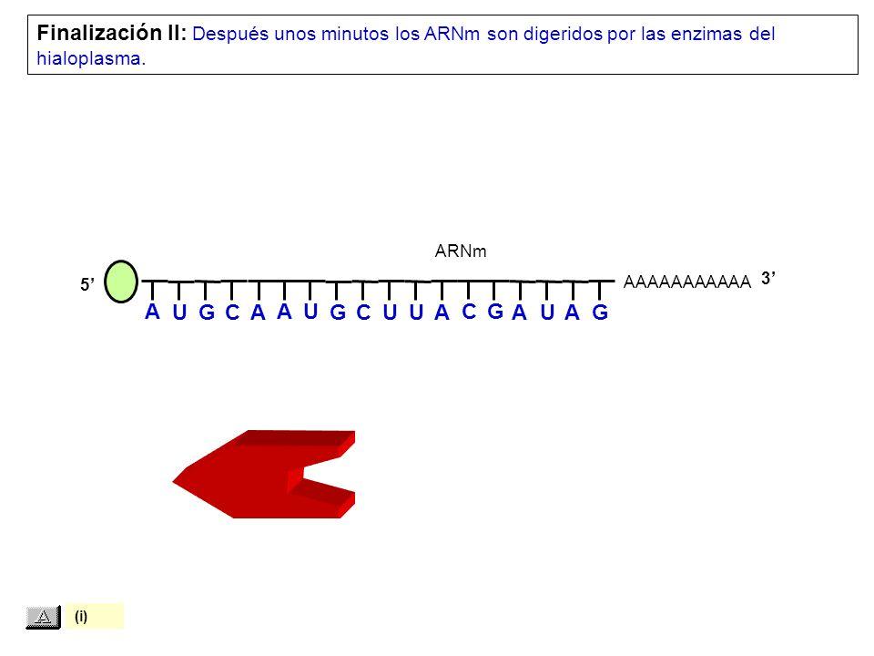 AAAAAAAAAAA Finalización II: Después unos minutos los ARNm son digeridos por las enzimas del hialoplasma.