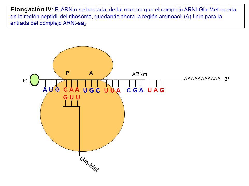 AAAAAAAAAAA P A A U G C A A Elongación IV: El ARNm se traslada, de tal manera que el complejo ARNt-Gln-Met queda en la región peptidil del ribosoma, quedando ahora la región aminoacil (A) libre para la entrada del complejo ARNt-aa 3 5 3 Gln-Met G U U U G C U U A C G A U A G ARNm