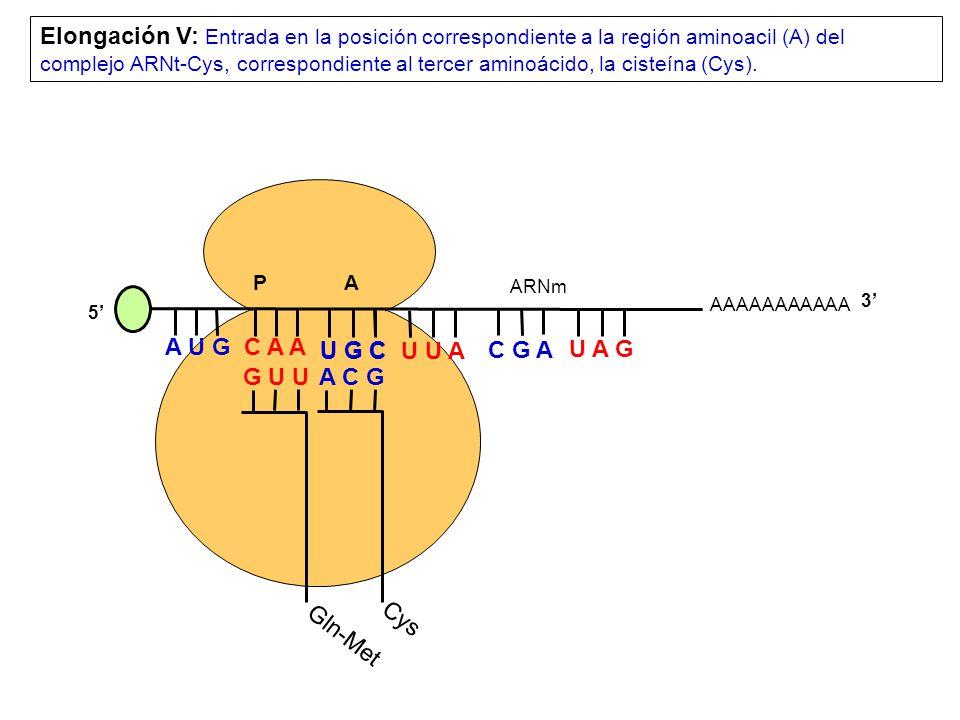 AAAAAAAAAAA P A A U G C A A Elongación V: Entrada en la posición correspondiente a la región aminoacil (A) del complejo ARNt-Cys, correspondiente al tercer aminoácido, la cisteína (Cys).