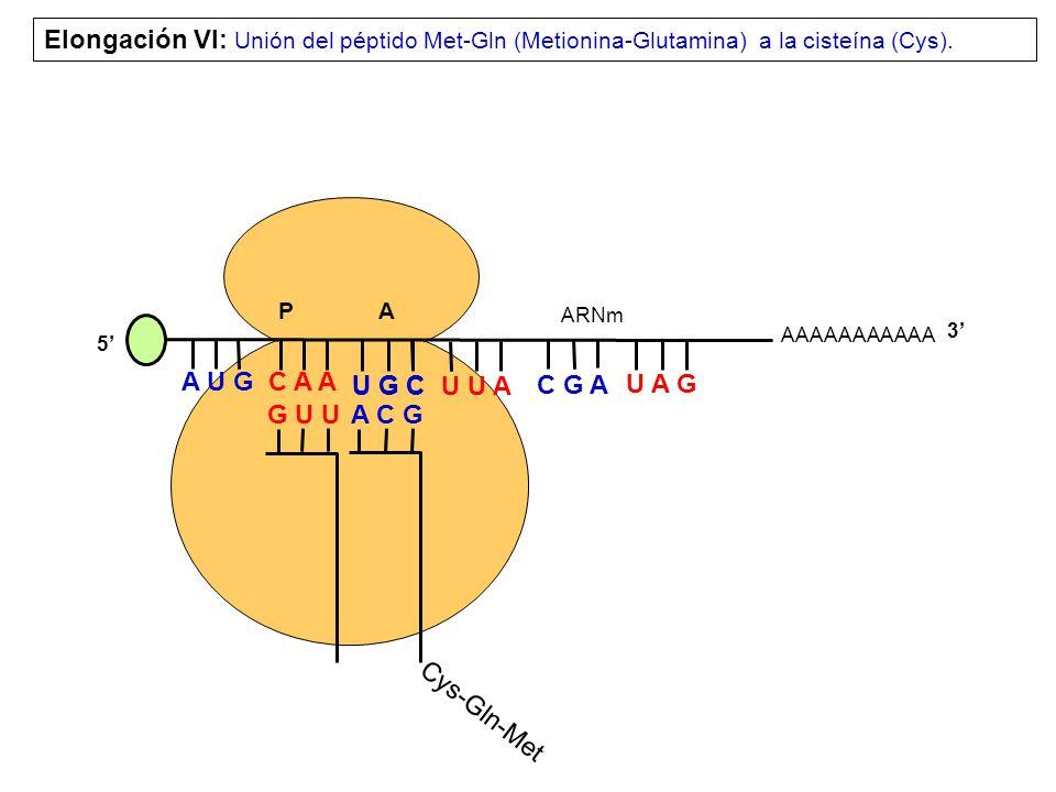 AAAAAAAAAAA P A A U G C A A Elongación VI: Unión del péptido Met-Gln (Metionina-Glutamina) a la cisteína (Cys).