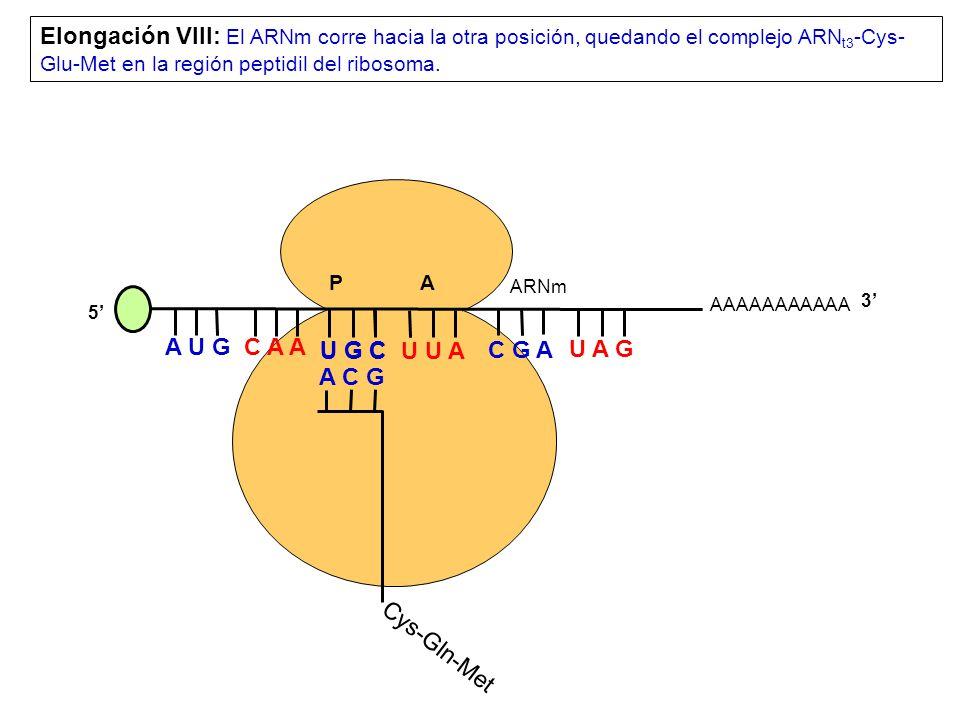 AAAAAAAAAAA P A A U G C A A Elongación VIII: El ARNm corre hacia la otra posición, quedando el complejo ARN t3 -Cys- Glu-Met en la región peptidil del ribosoma.