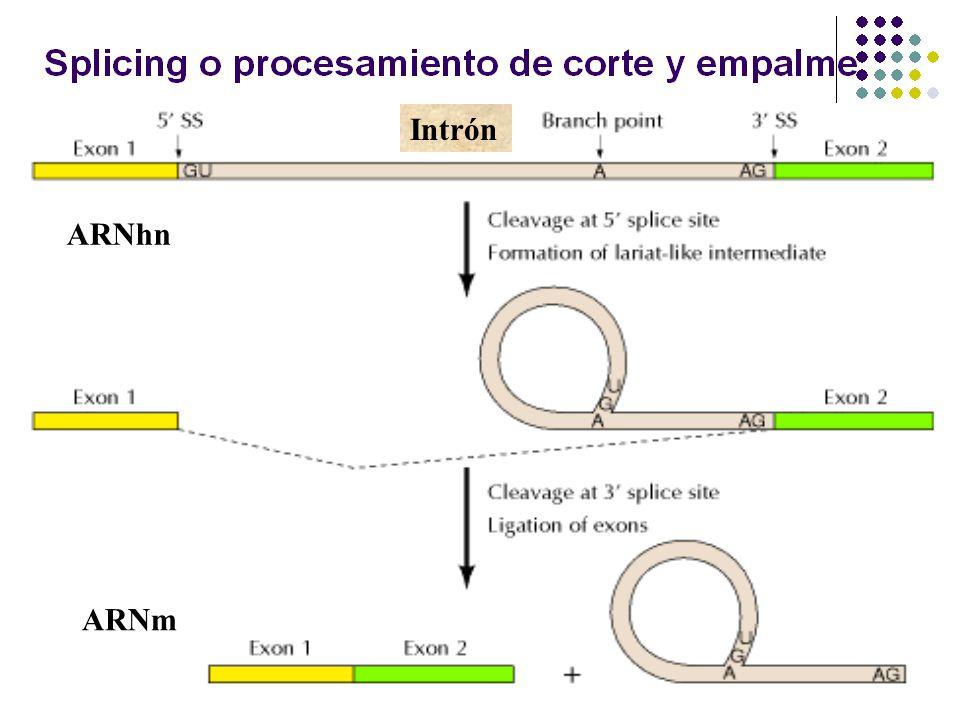 Intrón ARNhn ARNm