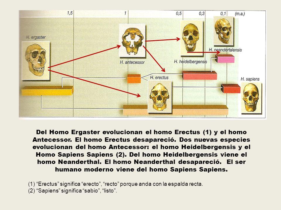 Del Homo Ergaster evolucionan el homo Erectus (1) y el homo Antecessor. El homo Erectus desapareció. Dos nuevas especies evolucionan del homo Antecess
