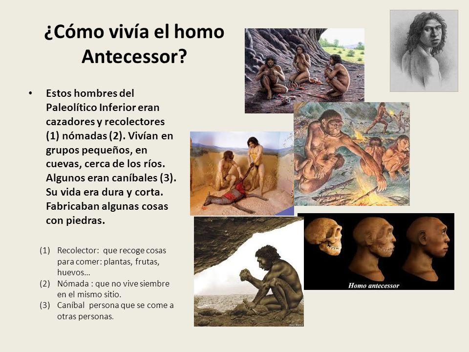 ¿Cómo vivía el homo Antecessor? Estos hombres del Paleolítico Inferior eran cazadores y recolectores (1) nómadas (2). Vivían en grupos pequeños, en cu
