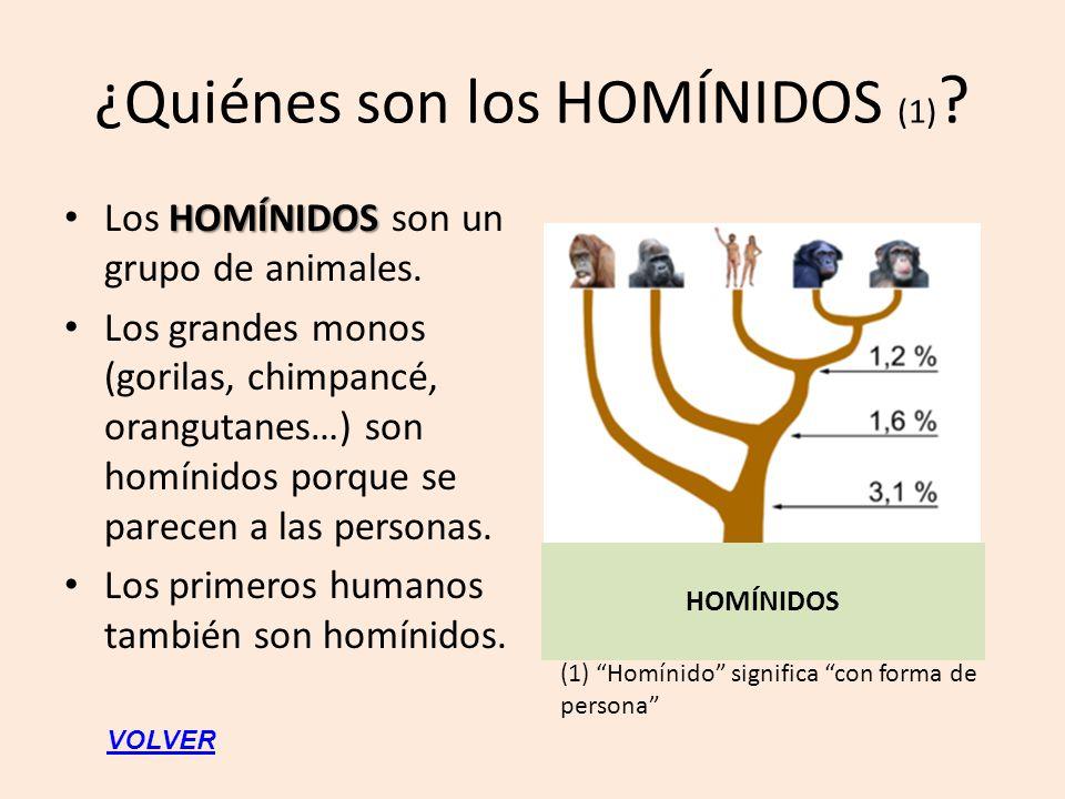 ¿Quiénes son los HOMÍNIDOS (1) ? HOMÍNIDOS Los HOMÍNIDOS son un grupo de animales. Los grandes monos (gorilas, chimpancé, orangutanes…) son homínidos