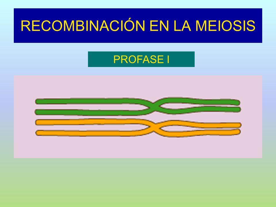 RECOMBINACIÓN EN LA MEIOSIS PROFASE I