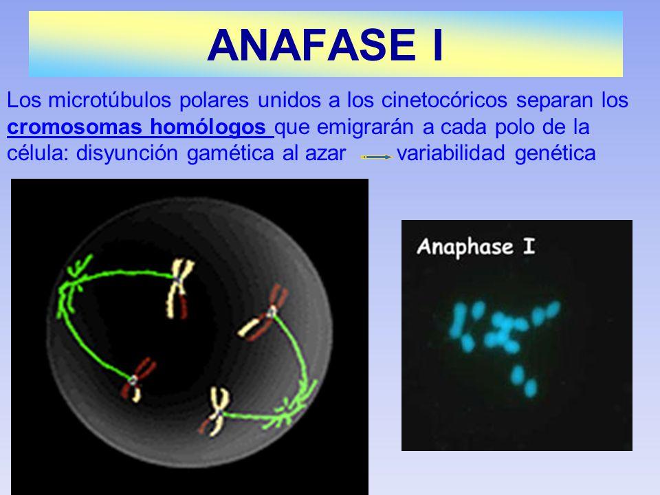 Los microtúbulos polares unidos a los cinetocóricos separan los cromosomas homólogos que emigrarán a cada polo de la célula: disyunción gamética al az