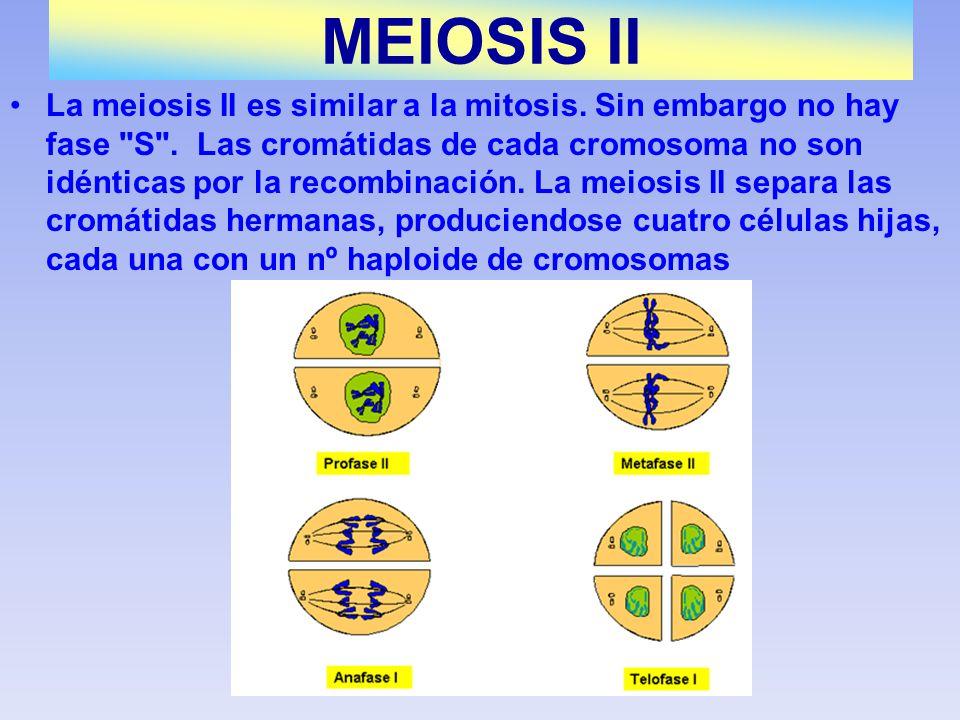 La meiosis II es similar a la mitosis. Sin embargo no hay fase