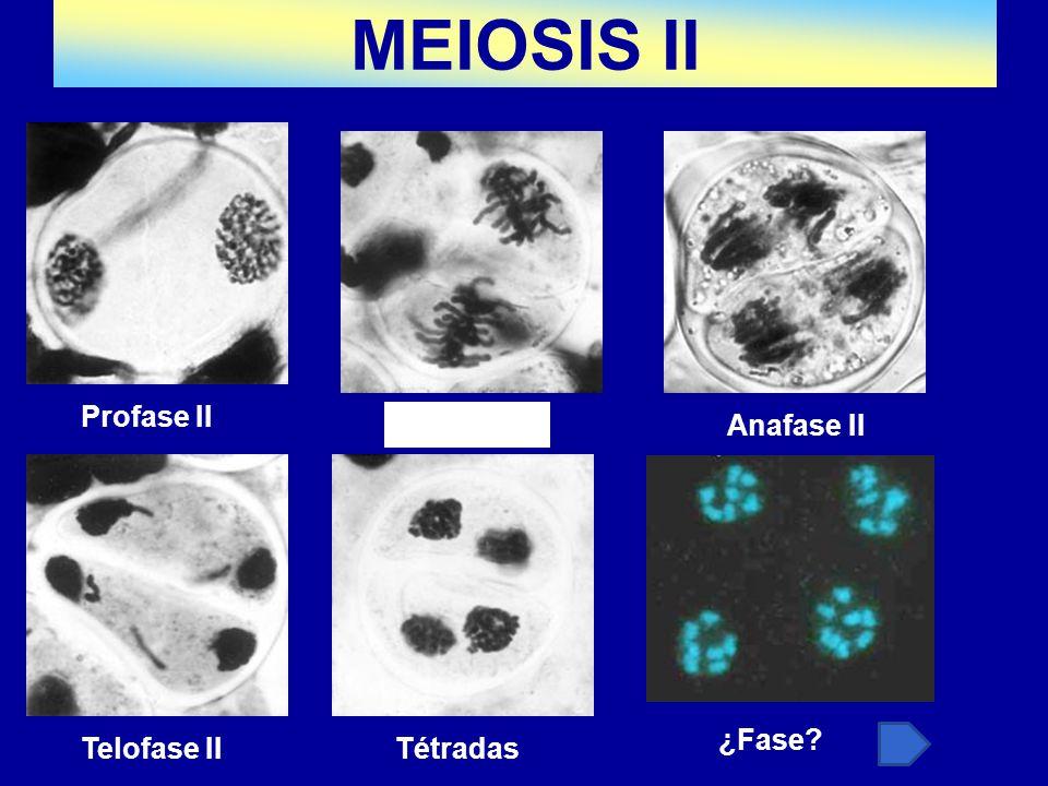 Tétradas ¿Fase? Anafase IITétradas Profase II Telofase II