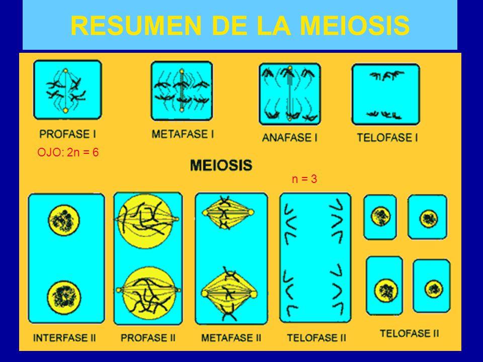 RESUMEN DE LA MEIOSIS OJO: 2n = 6 n = 3