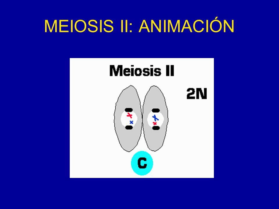 ANIMACION MEIOSIS I Y II
