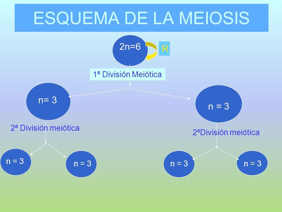 ESQUEMA DE LA MEIOSIS 2n=6 n= 3 n 2 =6 1ª División Meiótica R 2ªDivisión meiótica n = 3