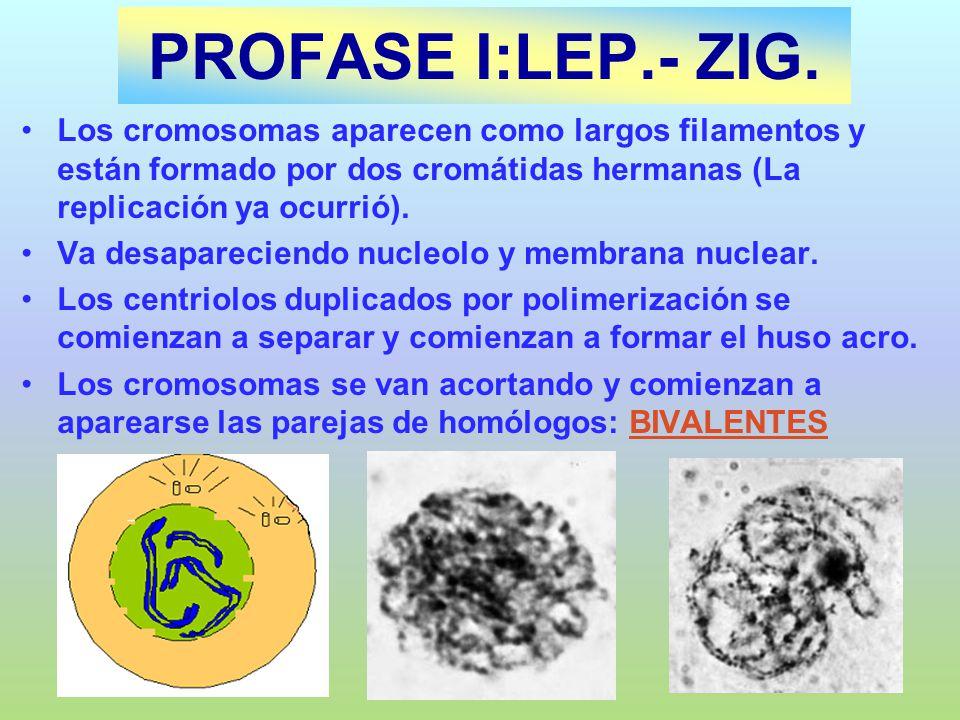 PROFASE I:LEP.- ZIG. Los cromosomas aparecen como largos filamentos y están formado por dos cromátidas hermanas (La replicación ya ocurrió). Va desapa