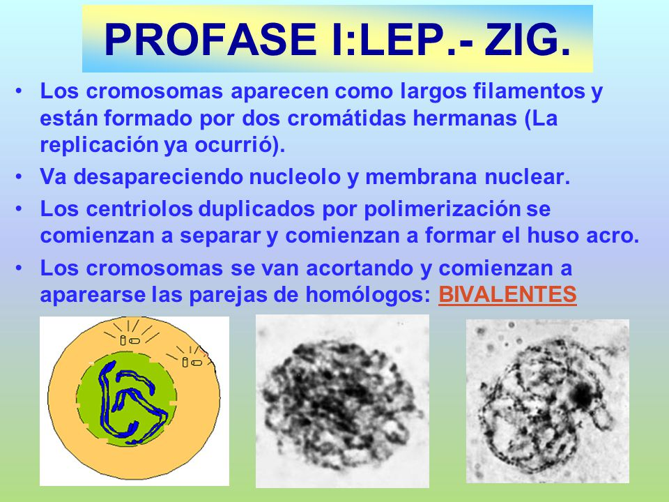 PROFASE I:LEP.- ZIG.