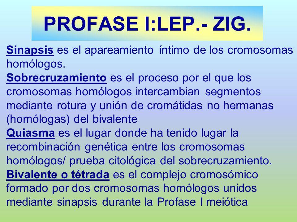 PROFASE I:LEP.- ZIG. Sinapsis es el apareamiento íntimo de los cromosomas homólogos. Sobrecruzamiento es el proceso por el que los cromosomas homólogo