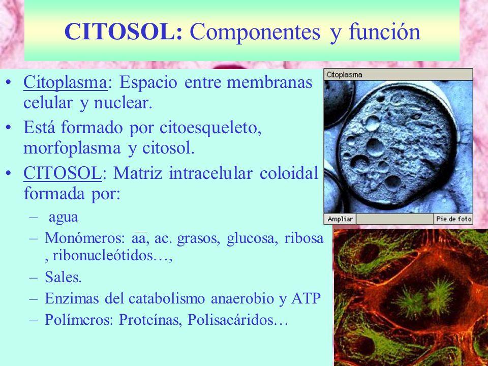 CITOSOL: Componentes y función Citoplasma: Espacio entre membranas celular y nuclear.