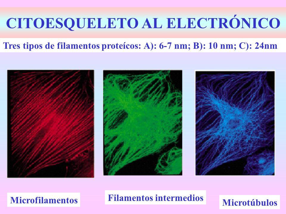 CITOESQUELETO AL ELECTRÓNICO Tres tipos de filamentos proteícos: A): 6-7 nm; B): 10 nm; C): 24nm Filamentos intermedios Microfilamentos Microtúbulos