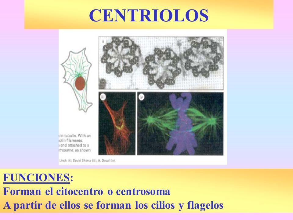 CENTRIOLOS FUNCIONES: Forman el citocentro o centrosoma A partir de ellos se forman los cilios y flagelos