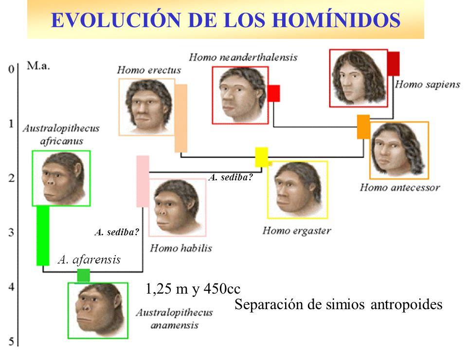 Separación de simios antropoides 1,25 m y 450cc A. sediba? A. afarensis A. sediba?