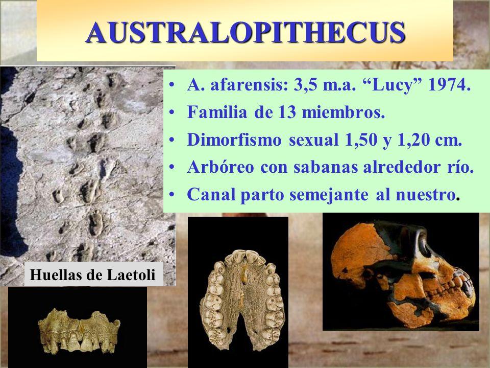 A. afarensis: 3,5 m.a. Lucy 1974. Familia de 13 miembros. Dimorfismo sexual 1,50 y 1,20 cm. Arbóreo con sabanas alrededor río. Canal parto semejante a