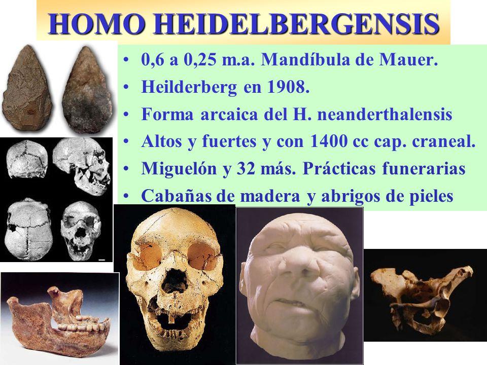 0,6 a 0,25 m.a. Mandíbula de Mauer. Heilderberg en 1908. Forma arcaica del H. neanderthalensis Altos y fuertes y con 1400 cc cap. craneal. Miguelón y