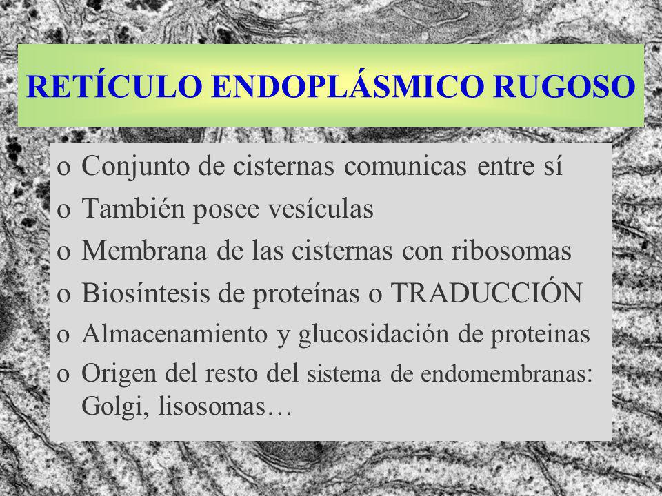 RETÍCULO ENDOPLÁSMICO RUGOSO oConjunto de cisternas comunicas entre sí oTambién posee vesículas oMembrana de las cisternas con ribosomas oBiosíntesis de proteínas o TRADUCCIÓN oAlmacenamiento y glucosidación de proteinas oOrigen del resto del sistema de endomembranas : Golgi, lisosomas…