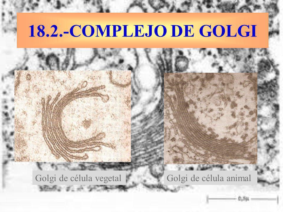 18.2.-COMPLEJO DE GOLGI Golgi de célula vegetalGolgi de célula animal